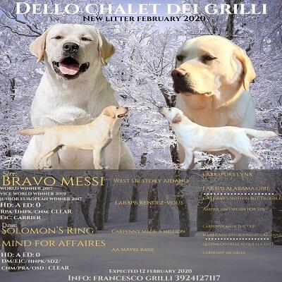 cuccioli labrador retriever vanvitelli labradors Bravo Messi