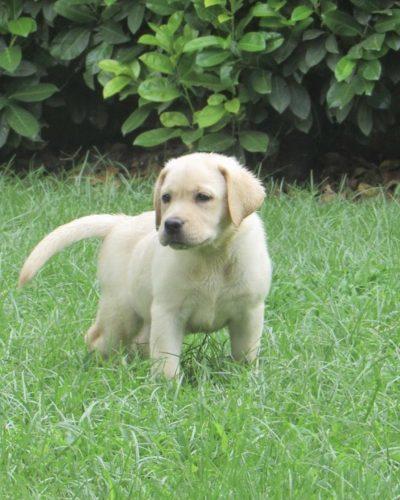 cucciolo labrador anna