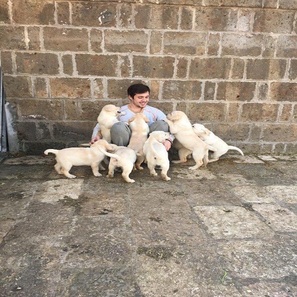 vanvitelli labradors - cuccioli labrador retriever